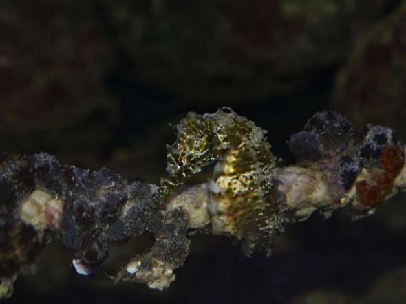 Calut de mare (Hippocampus guttulatus)
