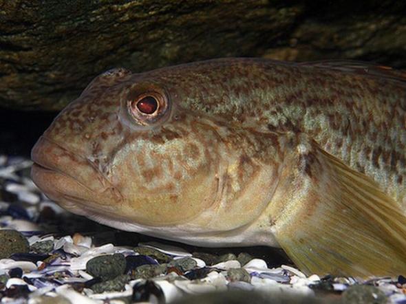 Strunghilul (Neogobius melanostomus)
