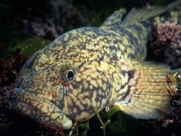 Guvidul de mare (Ponticola cephalargoides)